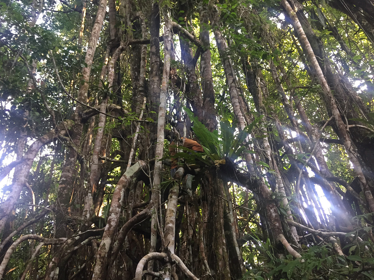Our guide climbing the walking tree, Amazon, Peru