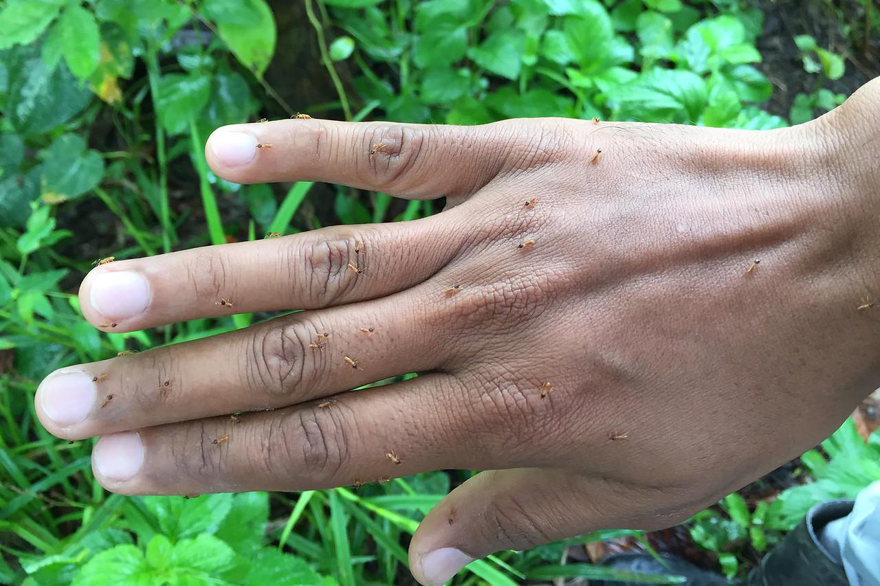 Termites acting as natural repellent, Amazon, Peru