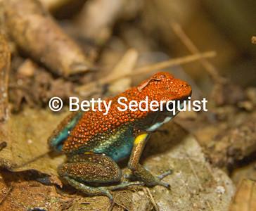 Poison Dart Frog II