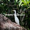Cattle Egret, Amazon