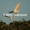 Egrets in the Sunset, Amazon