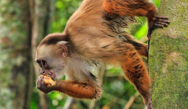 Στην Περουβιανή Αμαζονία (ΠΕΡΟΥ). Μαϊμού