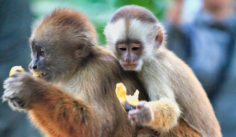 Στην Περουβιανή Αμαζονία (ΠΕΡΟΥ). Σκιουρόμορφος πίθηκος