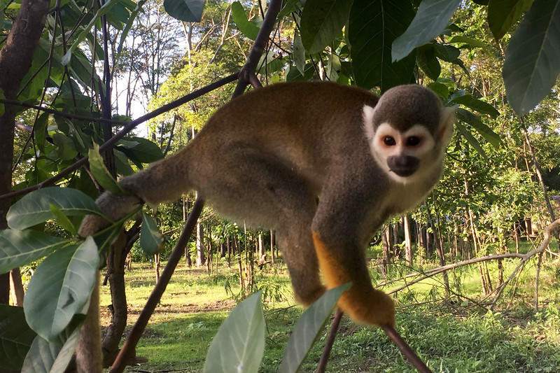 Playful monkeys at the rescue center in the Amazon forest, Peru