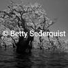 Drowned Trees, Laguna Grande