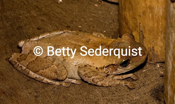 Frog, Amazon