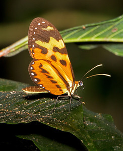 Heliconia longwing
