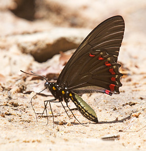 Puddleclubbing swallowtail