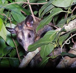Shy possum
