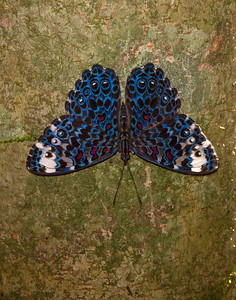 Blue cracker butterfly