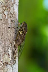 Jungle cicada