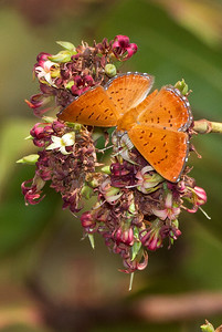 Jungle metalmark