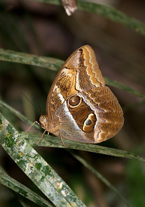 Small owl butterfly