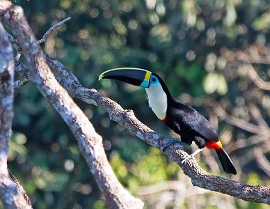 Cuvier's toucan