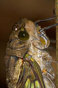 Cicada profile