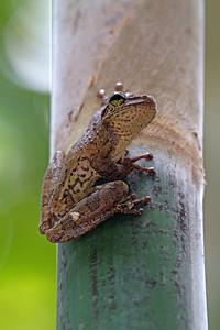 Large treefrog