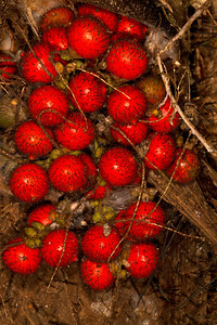 Hairy rainforest fruit