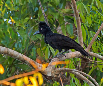 Female umbrellabird