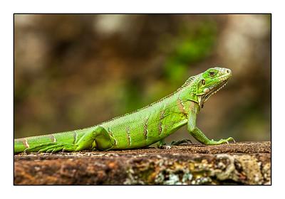Jeune Iguane
