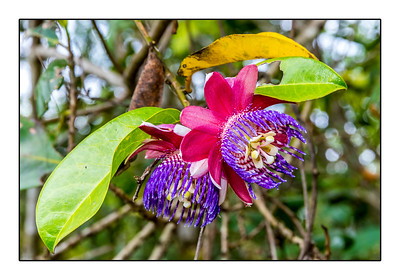 Passiflora Gabrielliana