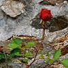 Rose de Novembre