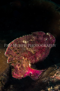 Portrait of a Leaf Scorpionfish