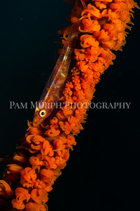 Coral Whip Goby