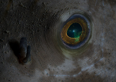 Eye of a Striped Pufferfish (Arothron manilensis)