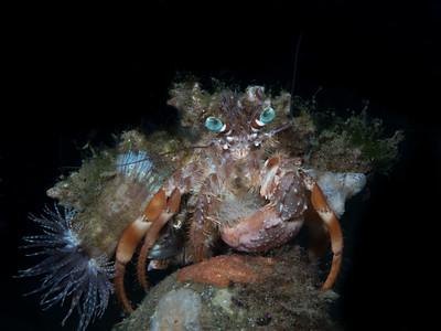 Anemone Hermit Crab (Dardanus pedanculatus)