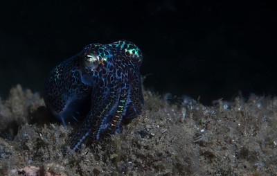 Berry's Bobtail Squid (Euprymna berryi)
