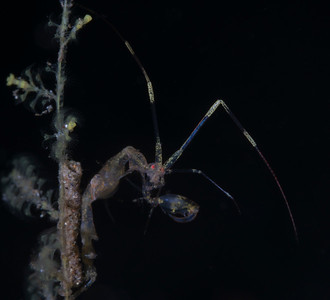 Skeleton Shrimp (Caprella Sp)