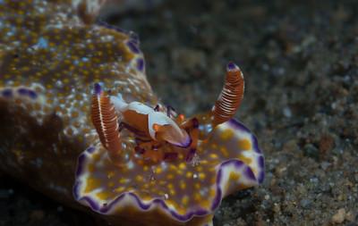 Emperor Shrimp (Periclimenses imperator) riding atop a Many-Lobed Ceratosoma (Ceratosoma tenue)