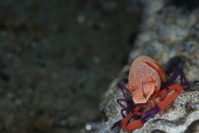 Emperor Shrimp (Periclimenses imperator)