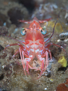 Night Shrimp (Processidae sp)