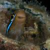 Bluestriped Fangblenny (Plagiotremus rhinorynchos)