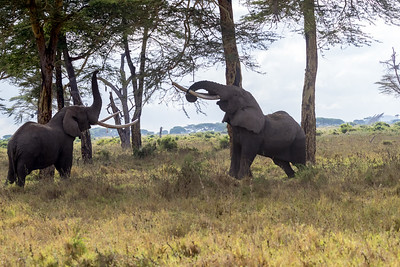 The other big tusker commonly found at Kimana is Tolstoy on the right.  One tusk was sawn short because he was getting hungup with it stuck in the ground