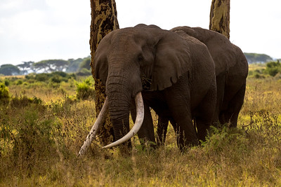 Old elephants (40-50 years) with big tusks are quite rare.  Twelve are known in Kenya and only  20 overall in Africa.  This is Tim seen at the Kimana Reserve