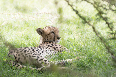 It's a very dry area, but a few cheetahs manage to make do