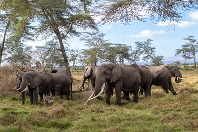 Just how exceptional Tim and Tolstoy are is more obvious when you see other elephants around them