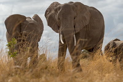 DId you ever wonder how the photographer was brave enough to get down so low in front of the elephants?