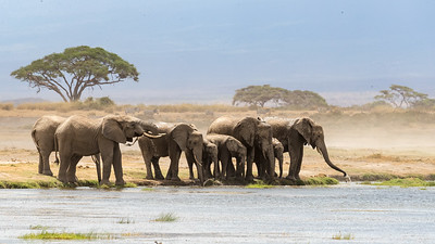 Large family groups are routine here; sometimes numbering as many as 20 elephants