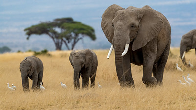 The elephants pretend they don't notice you