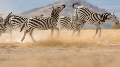 Zebras are also commonly seen