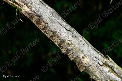 Long-nosed Bats (Rhynchonycteris naso)