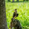 crested caracara (Caracara plancus)