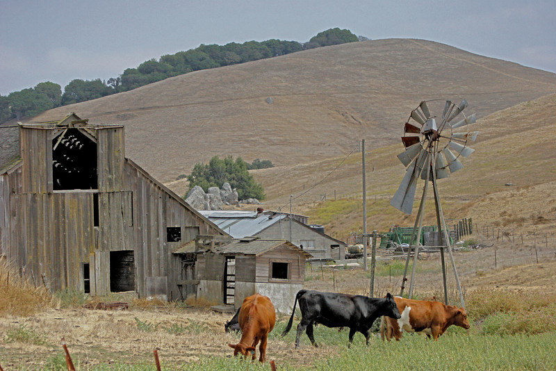 The field is in need of rain and the cattle will enjoy no water from this windmill.