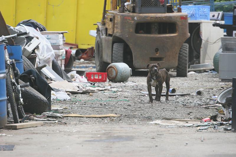 """Dog guarding a """"recycling"""" yard in Monroe WA"""