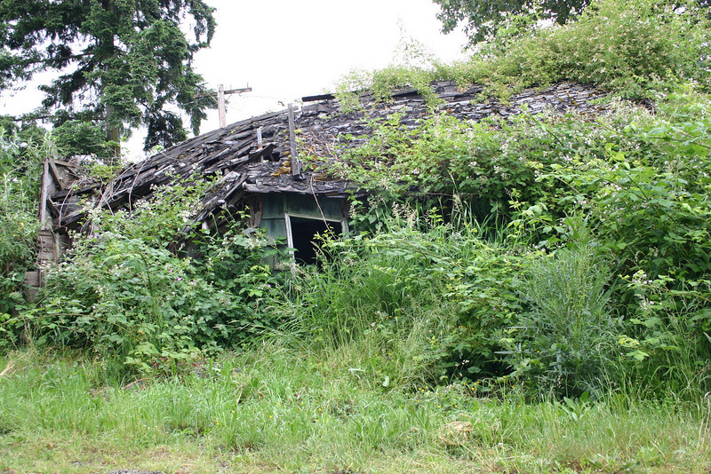Remains of a building in Issaquah that would probably not be standing at all without the help of the brambles