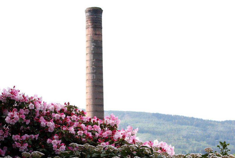 The flowering shrubs at the entrance to the long abandoned wood mill flourish with the remaining smoke stack of the old boiler house as a background