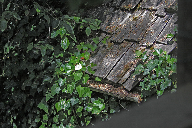 Overwhelmed by ivy